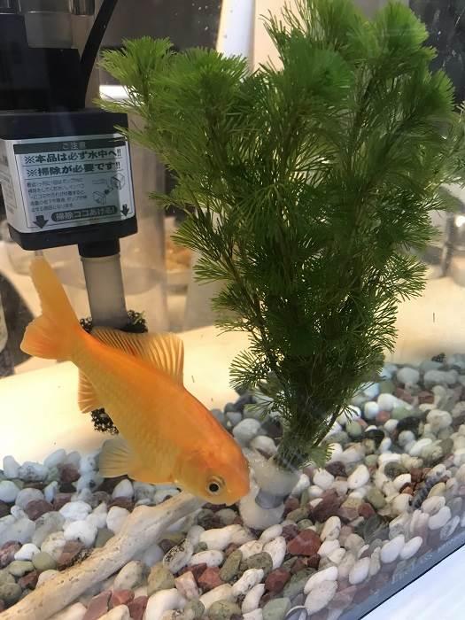 金魚すくいでやってきた金魚がとんでもないことに